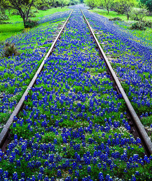 bluebonnet wildflowers and old railroad track near llano texas - bluebonnet stock photos and pictures