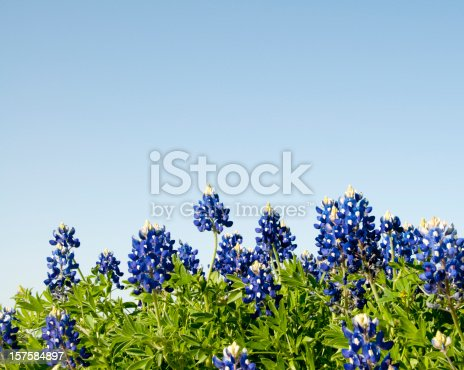 A close-up horizon shot of Texas Bluebonnets provides a useful background for spring and summer themes.  Converted from RAW file with 16 bit processing.