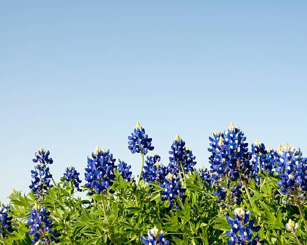 bluebonnets against a blue sky - bluebonnet stock photos and pictures