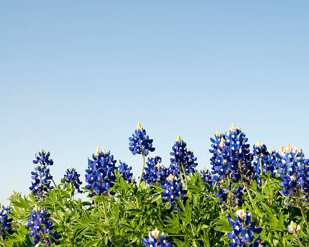 Bluebonnets against a blue sky stock photo