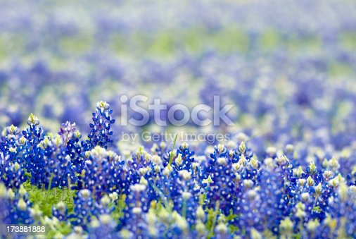 Short depth of field view of wild bluebonnets in Texas pasture. Copy space.