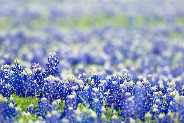 bluebonnets closeup - bluebonnet stock photos and pictures