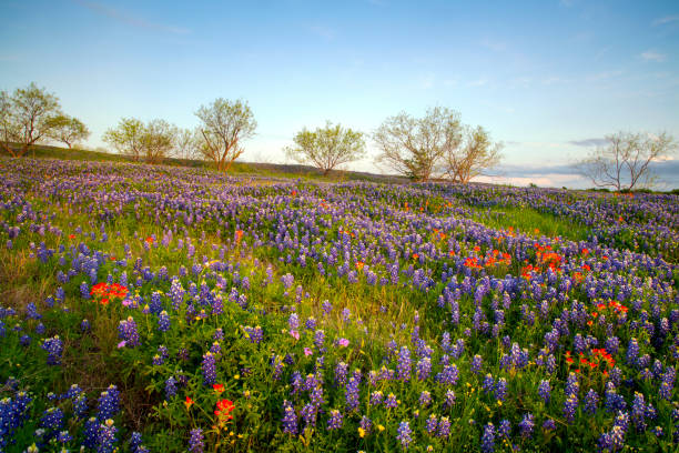 Bluebonnets in Texas Hill Country stock photo