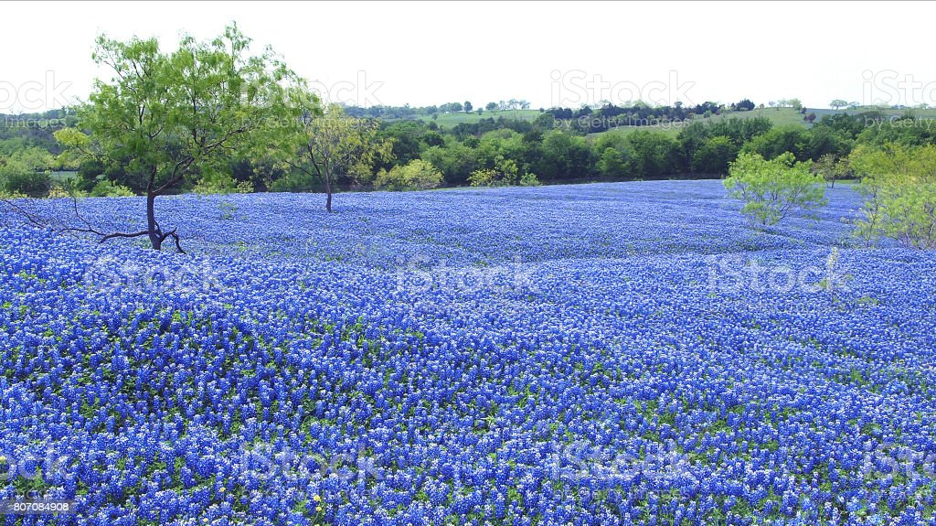 Bluebonnets in Texas stock photo