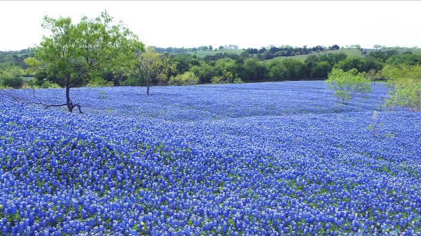 Bluebonnets in Texas stock photo