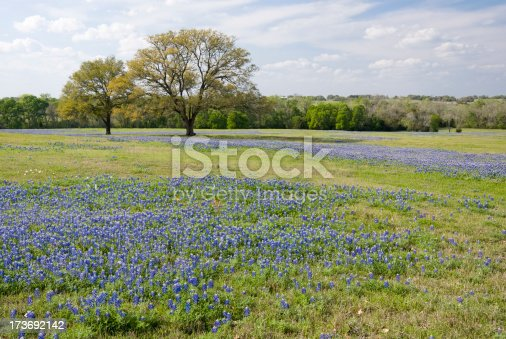 Wild bluebonnets are the state flower of Texas. Washington County, Texas. Other images: