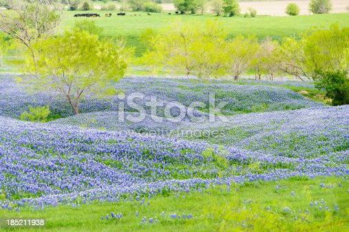 Small hills of Texas bluebonnets backed by cows in the pasture. Springtime scene in rural Texas.
