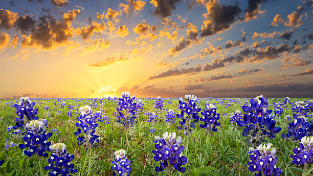 bluebonnets in the texas hill country - bluebonnet stock photos and pictures