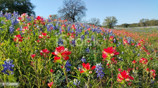 Bluebonnets, Indian Paintbrush, wildflower color, Texas Hill Country backroads. A dazzling carpet of vibrant wildflowers covers the Texas landscape in the March and April Springtime.
