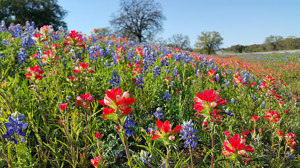 bluebonnets, indien pinceau, les fleurs sauvages couleur, le texas hill pays - paysage mois de mars photos et images de collection