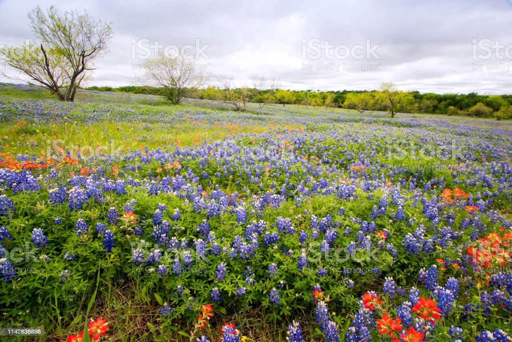 Bluebonnets Near Ennis Texas Stock Photo More Pictures Of