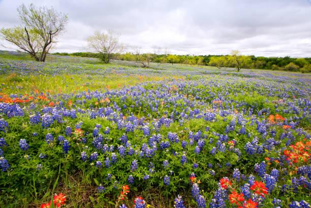 Bluebonnets Near Ennis, Texas stock photo