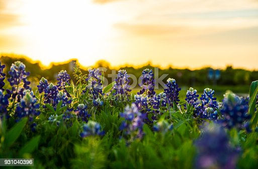 Looking into the Sunset at a Row of Perfect Texas Bluebonnets in the capital city of Texas outside of Austin , Texas in the Texas Hill Country during spring time as the spring flowers come out