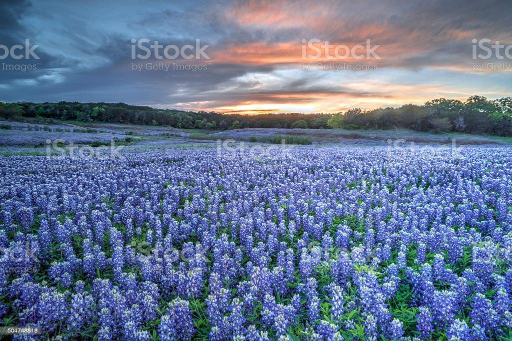 Bluebonnets, Texas - foto de stock