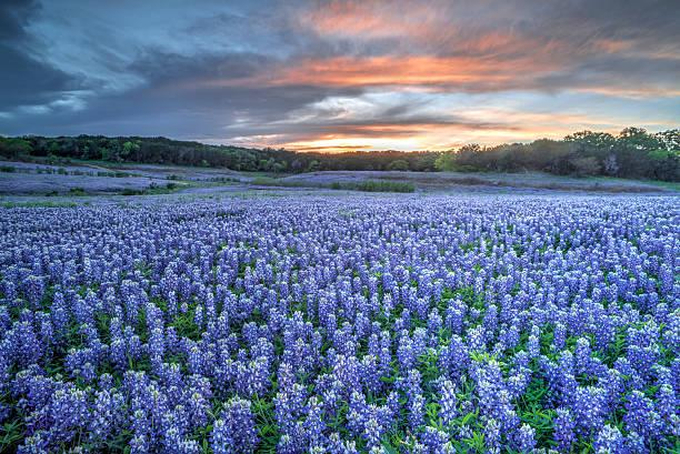 Bluebonnets, TX stock photo