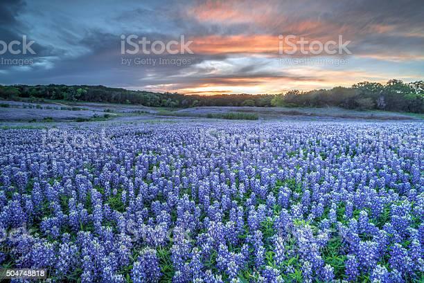 Photo of Bluebonnets, TX