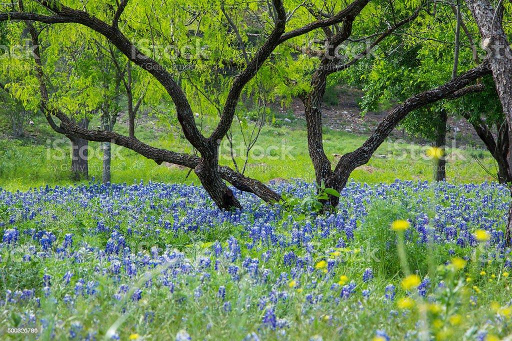 Bluebonnets Under Mesquite Tree stock photo
