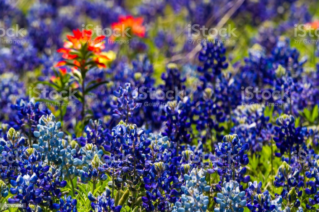 67850146170bc Bluebonnets with a couple of Indian Paintbrush Texas Wildflowers. - Stock  image .