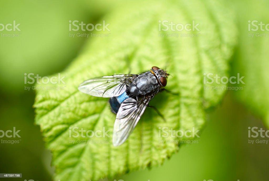 Bluebottle Fly Macro stock photo
