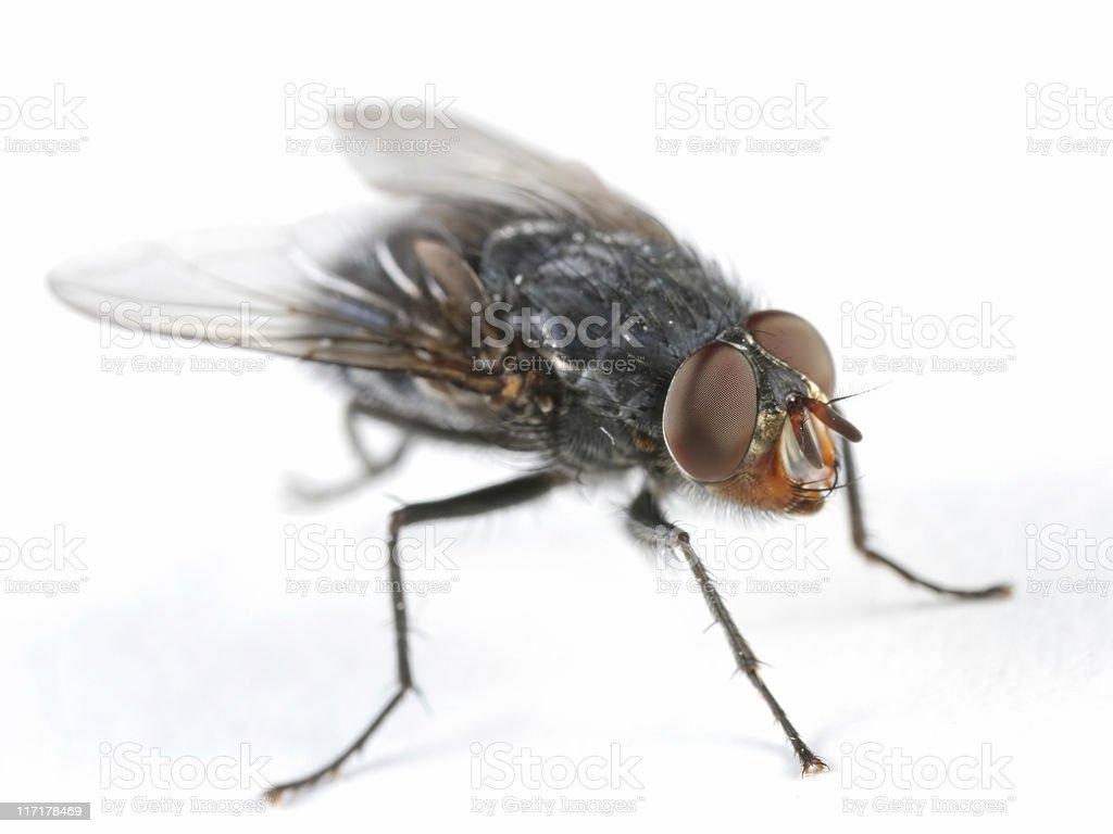 Bluebottle fly royalty-free stock photo