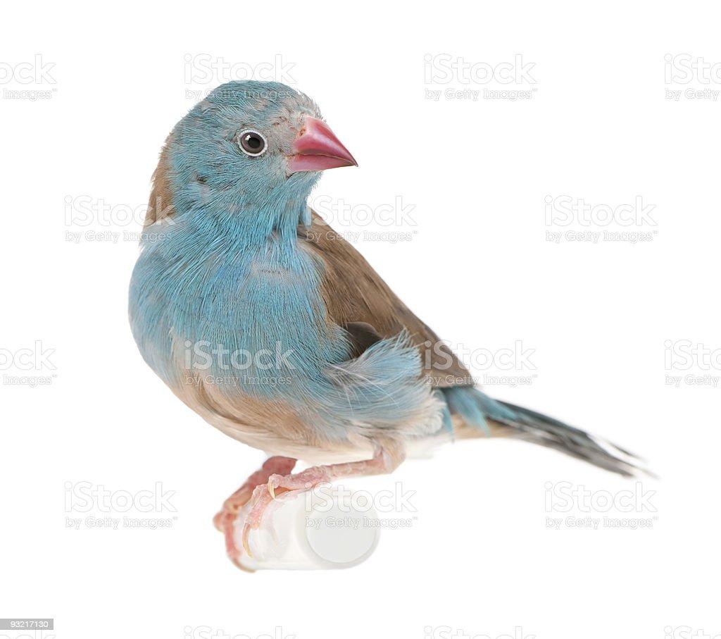 Blue-breasted Cordon-bleu stock photo