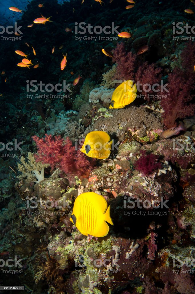 blue-cheeked butterflyfish in the red sea stock photo