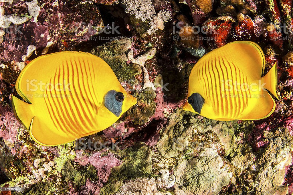 blue-cheeked butterflyfish stock photo