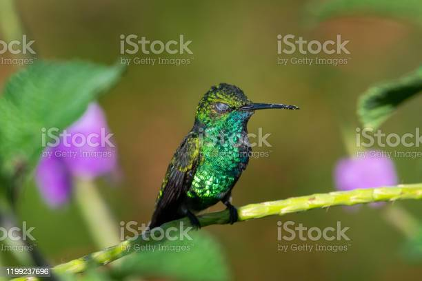 Photo of A Blue-chinned Sapphire hummingbird perching