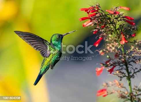 Blue-chinned Sapphire feeding on a red Antigua Heat flower in a tropical garden.