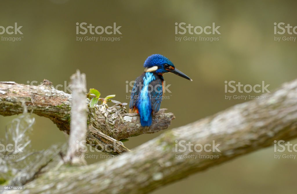 Blue-eared kingfisher royalty-free stock photo