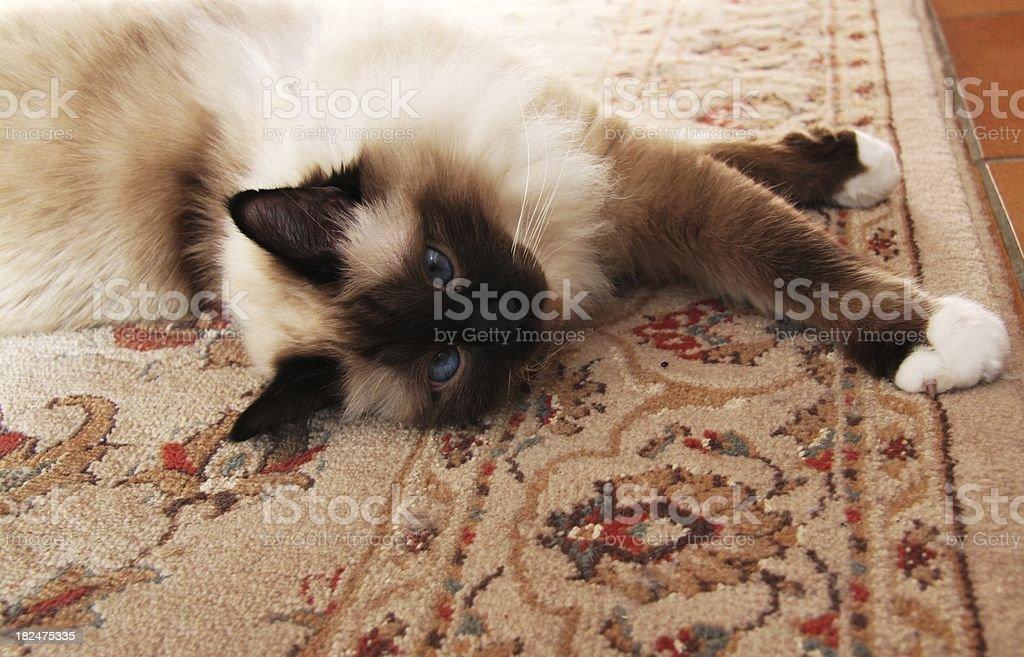Blue-eyed cat stock photo