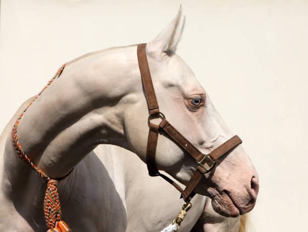 blauäugiges cremello akhal-teke pferd, das wegschaut - akhal teke stock-fotos und bilder