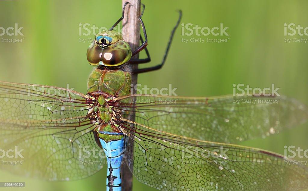 blue-eyed darner royalty-free stock photo