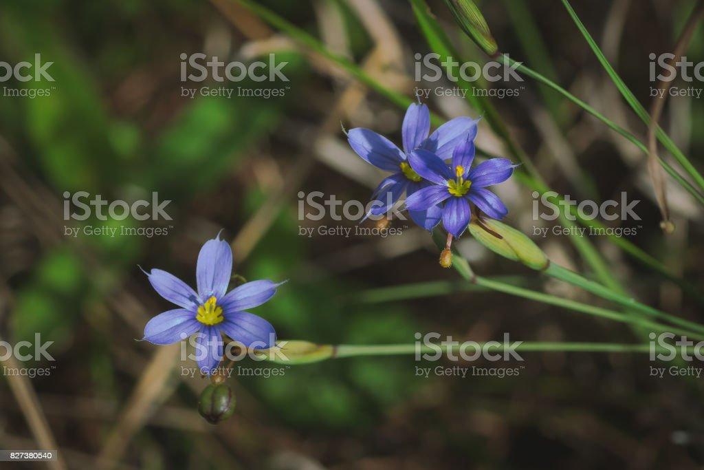 Grama azul – eyed (Sisyrinchium sp.) - foto de acervo