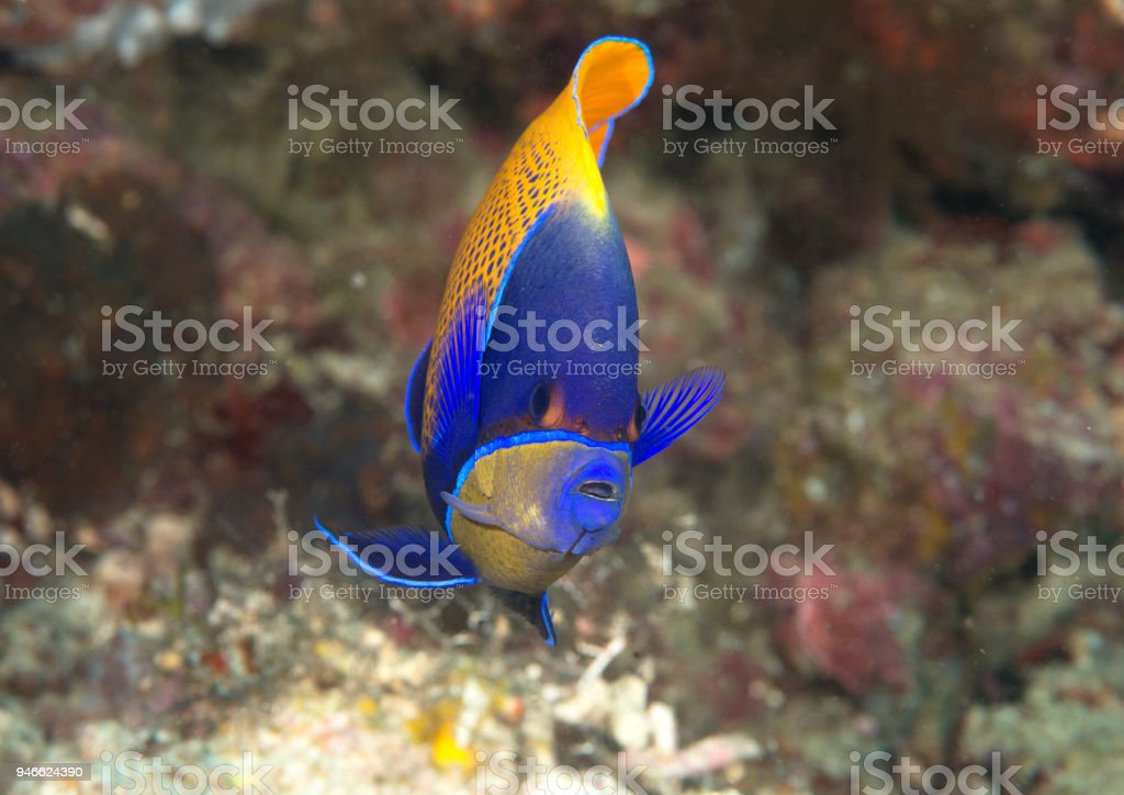 Blueface or yellowface angelfish over corals of Bali stock photo