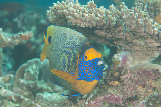 Blueface or yellowface angelfish  swimming over corals stock photo
