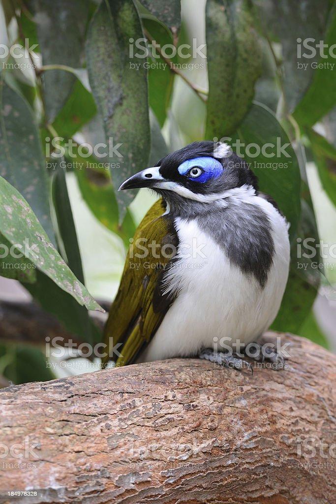 Blue-Faced Honeyeater, Australia (XXL) royalty-free stock photo