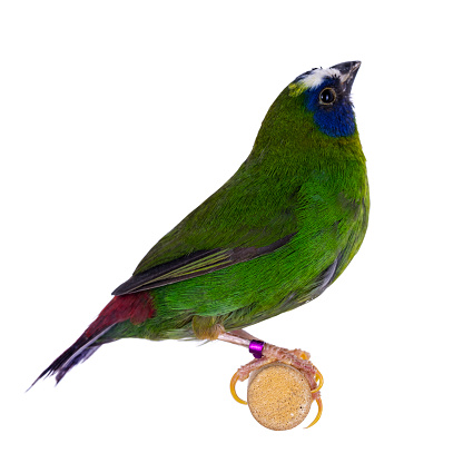 Blue-faced parrotfinch aka Erythrura trichroa birs, sitting on wooden branche. Isolated on white backgroy