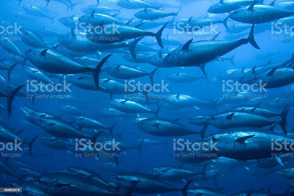 Bluefin Tuna in Net - Royalty-free Aquaculture Stock Photo