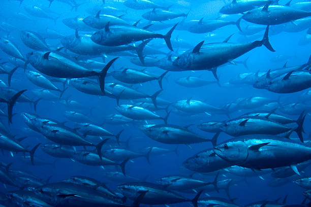 Bluefin Tuna in Net Bluefin Tuna in a netted ranch tuna animal stock pictures, royalty-free photos & images