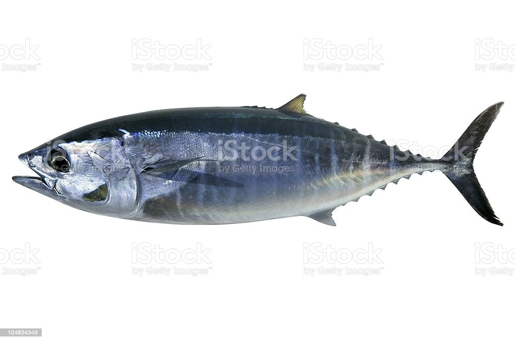 Bluefin tuna isolated on white Thunnus thynnus stock photo
