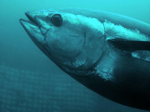 Blue-fin Tuna stock photo