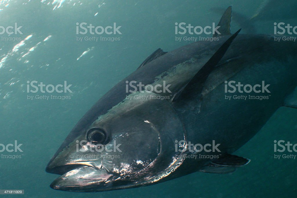Blue-fin Tuna stock photo