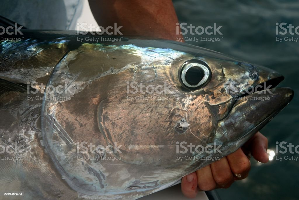 Bluefin Tuna stock photo