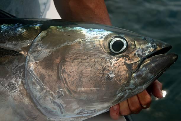 Bluefin Tuna stock photo
