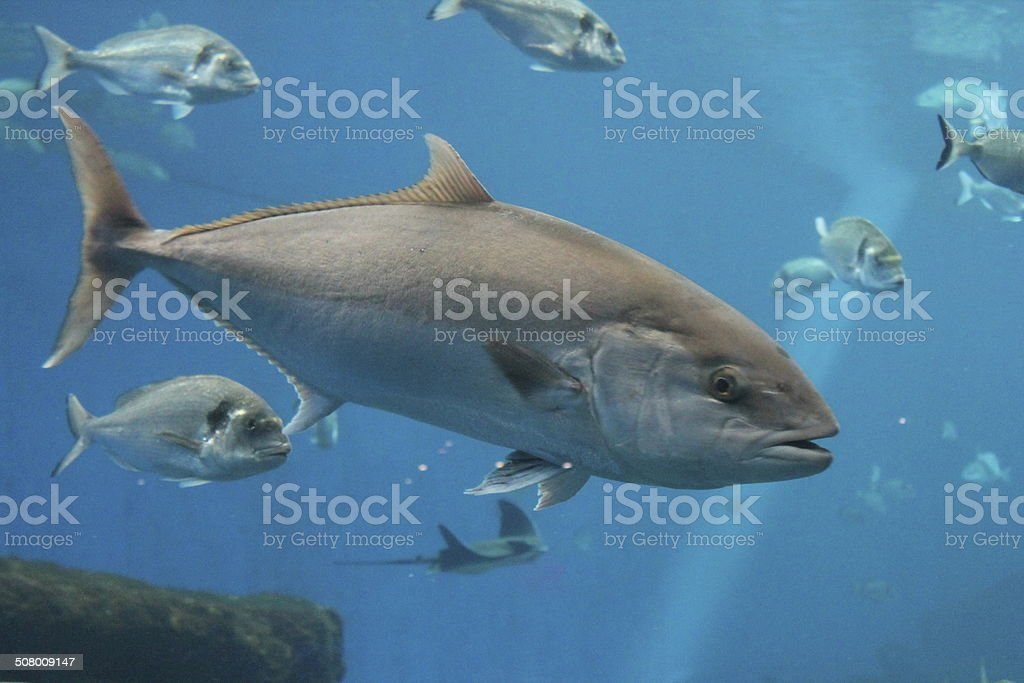 Bluefin tuna Thunnus thynnus underwater Group of many Blue fin tuna swimming Animal Stock Photo