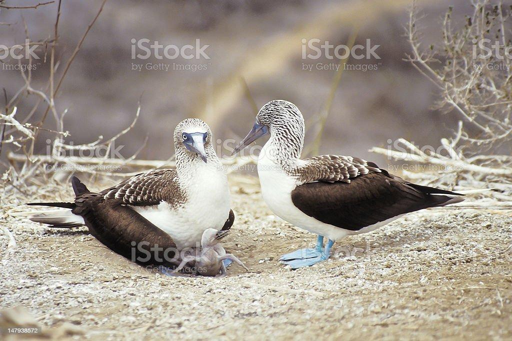 Blue-footed boobies, Galapagos Islands, Ecuador stock photo