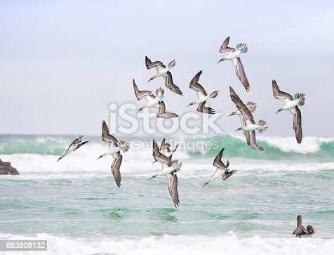 Rare shot with great detail of blue-footed boobies (Sula nebouxii) hunting in a swarm, diving from the sky. You can see the different stages of approach. A Pelican watching in the lower right. Nikon D810. Converted from RAW.