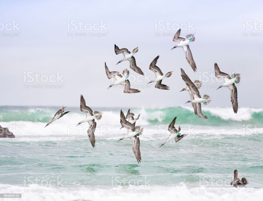 Blue-Footed Boobies hunting in a Flock, Galapagos Islands stock photo