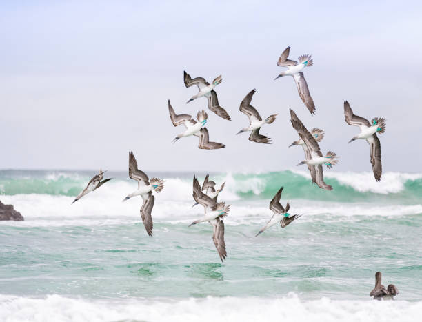 blue-footed boobies hunting in a flock, galapagos islands - uccello marino foto e immagini stock